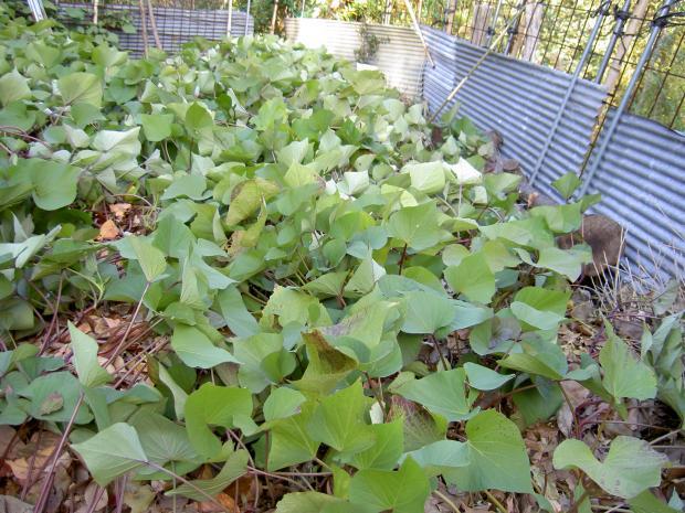 厚い落葉マルチで地温の低下を防ぐ