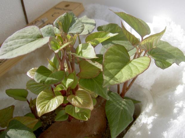 順調に育つサツマイモの苗