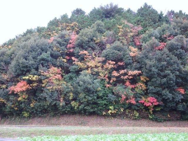 照葉樹林の中の紅葉