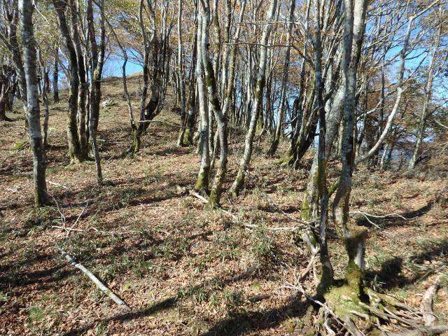 樹齢の若いブナの林分もある
