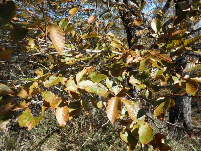 高城山のブナの葉は小さい