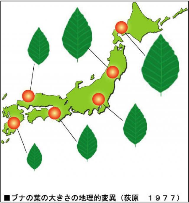 ブナの葉の大きさの地理的変異