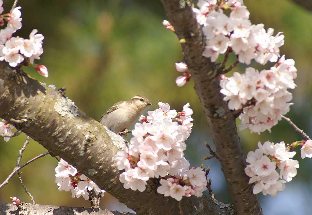 桜ニューナイ女の子