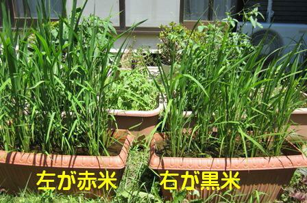 プラン田古代米栽培 2
