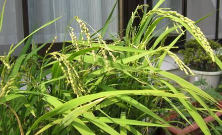 プラン田の赤米