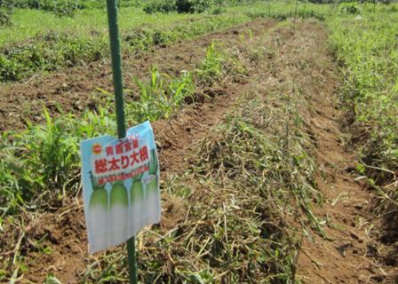 ダイコン・カブの畝 (1)