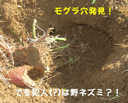 サツマイモの掘り出し (6)