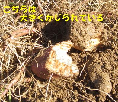 サツマイモの掘り出し (5)