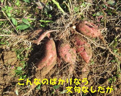 サツマイモの掘り出し (2)