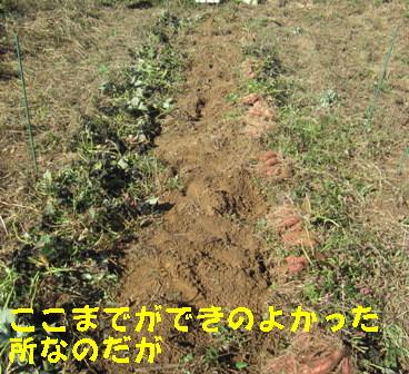 サツマイモの掘り出し (1)