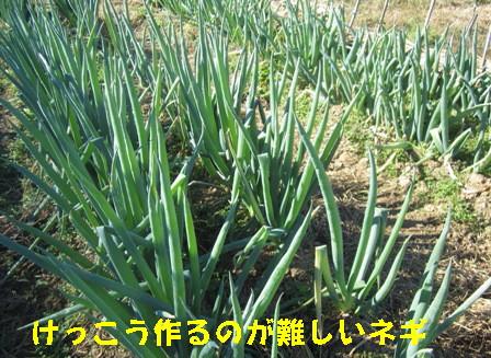 2013冬野菜 (5)