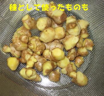 ショウガ冷凍保存 (1)