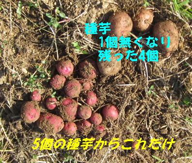種芋と新ジャガ1
