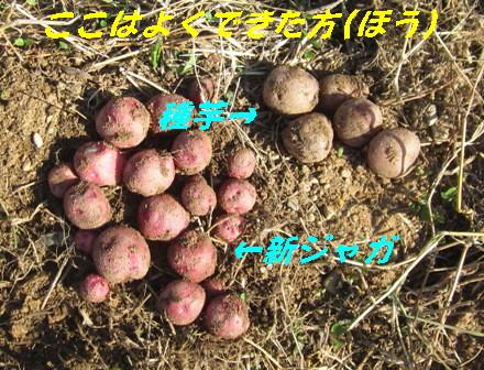 種芋と新ジャガ