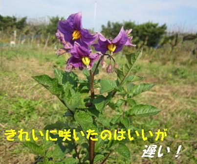 グランドペチカの花11.17