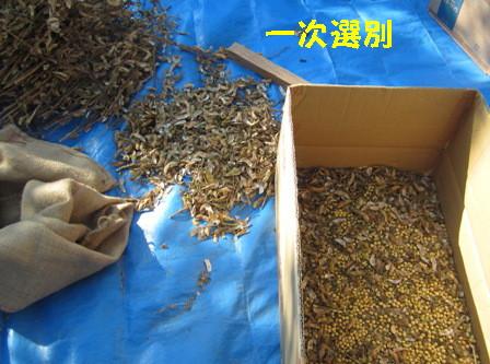 味噌用ダイズ脱穀 (3)