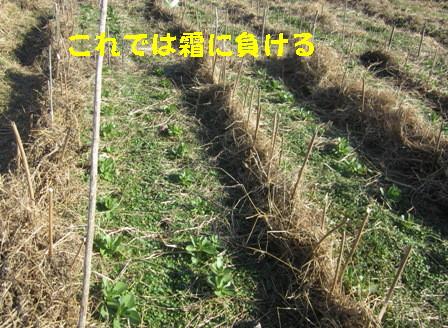 エンドウ・空豆の防風,防霜害