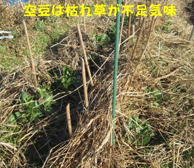 エンドウ・空豆の防風,防霜 (4)