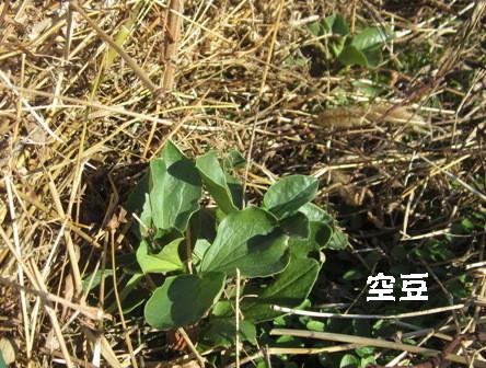エンドウ・空豆の防風,防霜 (5)