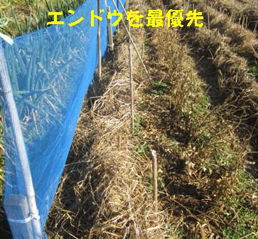エンドウ・空豆の防風,防霜 (2)