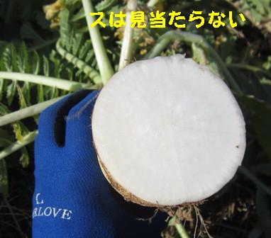 沢庵用ダイコン (2)