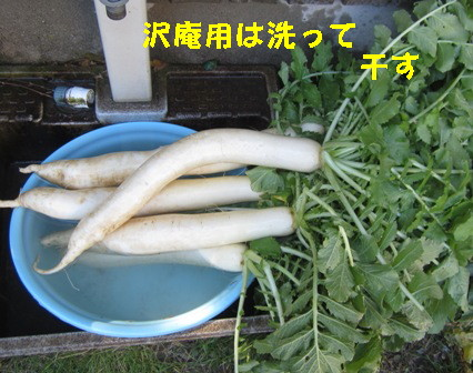 沢庵用ダイコン (3)