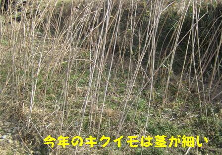 今年のキクイモ (1)
