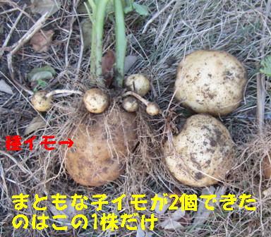 ジャガイモ日照との関係 (5)