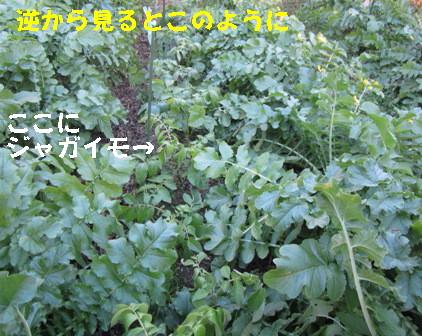 ジャガイモ日照との関係 (2)