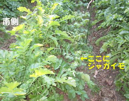 ジャガイモ日照との関係 (1)