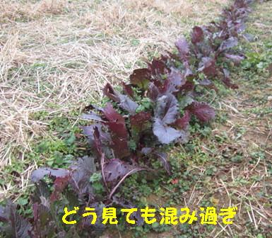 日野菜カブ (1)