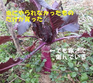 日野菜カブ (2)