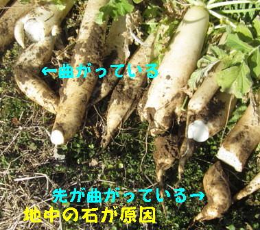 不耕起のダイコン (5)