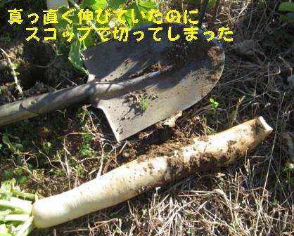 不耕起のダイコン (3)