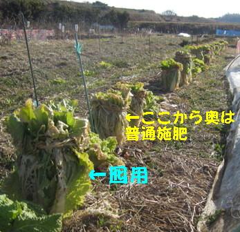 施肥白菜 (1)