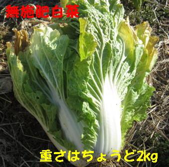 無施肥白菜 (2)