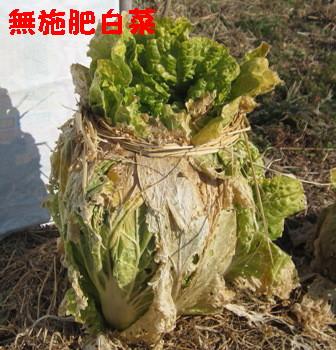 無施肥白菜 (1)