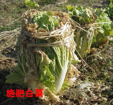 施肥白菜 (2)