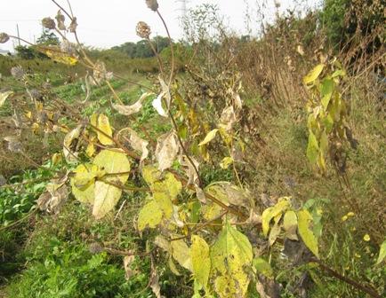 キクイモ収穫 (1)