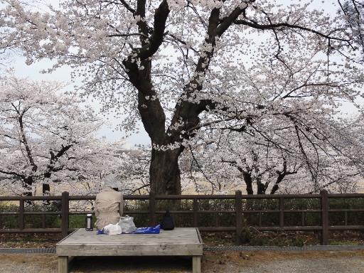 20120415金沢城の花見-1