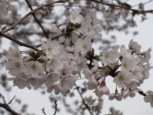 20120415金沢城の桜-3