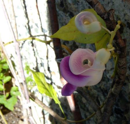 snail flower2