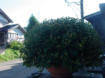 201010 kiku