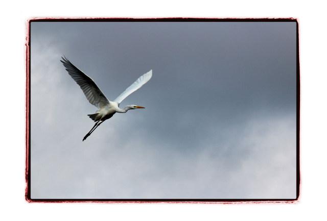 鳥 とり トリ 野鳥 写真 サギ 白鷺