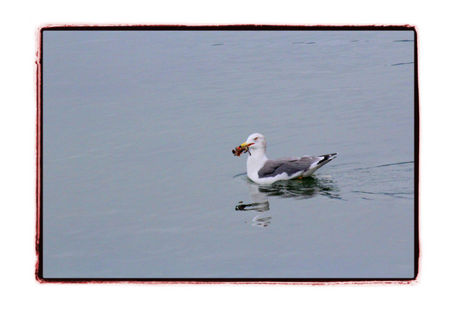 鳥 とり トリ 野鳥 写真 かもめ カモメ