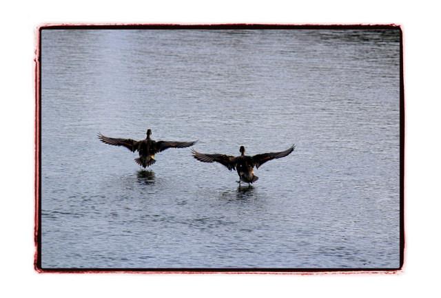 鳥 とり トリ 野鳥 写真 かも カモ 鴨