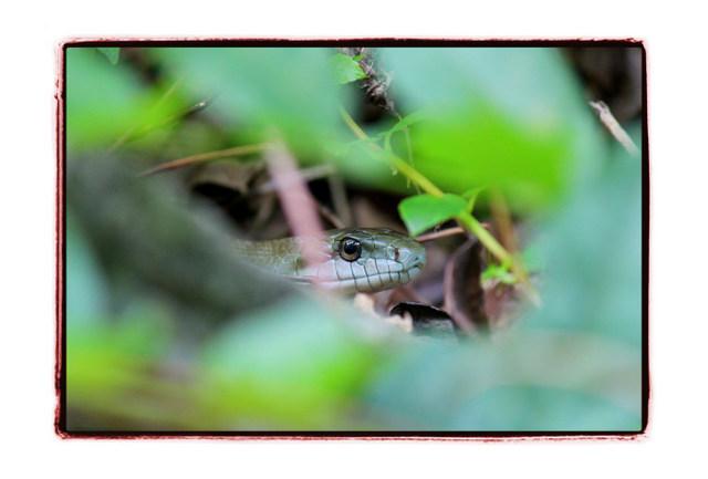蛇 へび ヘビ 写真 爬虫類