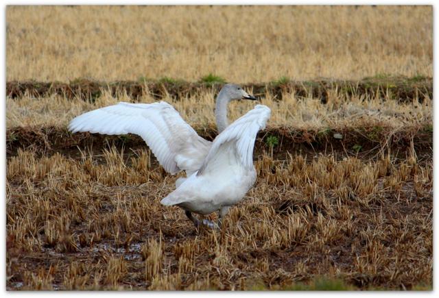 白鳥 鳥 写真 野鳥