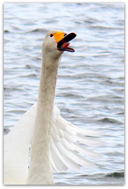 白鳥 はくちょう ハクチョウ 野鳥 写真 撮影 舌 した 口
