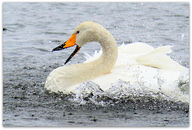 白鳥 はくちょう ハクチョウ 野鳥 写真 撮影